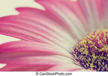 macro , από , ένα , ροζ , καλοκαίρι , μαργαρίτα