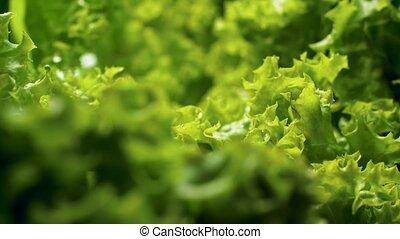 Macro 4k dolly video of fresh green lettuce leaves covered ...