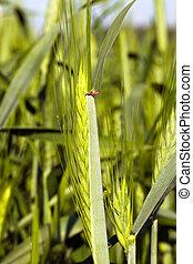 green ear from wheat (unripe)