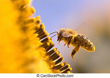 macro, abeille, tournesol