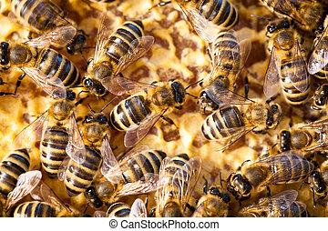 macro, abeilles, coup, essaimage, rayon miel