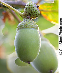 macro acorn