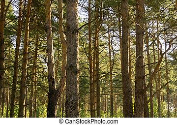 macro, arbres pin