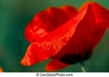 Macro art photography of blooming poppy. Red poppy with soft focus. Floral poster. Shallow depth of field. Toned image.