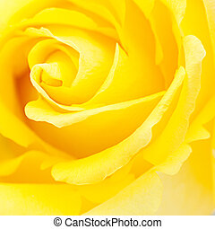 macro background of yellow rose