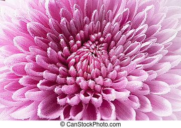 Macro background texture flower chrysanthemum