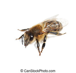 macro bee isolated on white