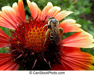 macro bee on gaillardia f