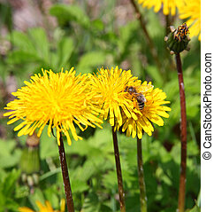 macro bee on yellow dandelion flower