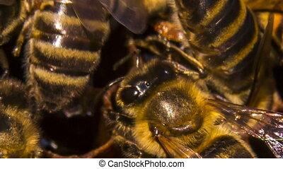 Macro: Bees Eating Honey On Honeycomb