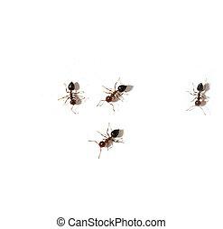 macro, blanco, hormigas, Plano de fondo