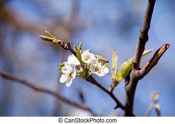 macro, blosom, primavera, árbol