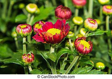 Macro Chrysanthemums