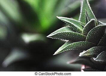 Haworthia  - Macro close detail Haworthia succulent plant