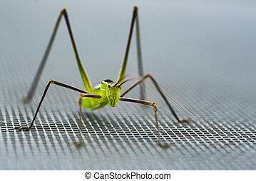 macro close up of a green cricket