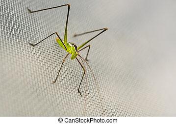 macro close up of a green cricket,