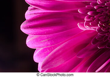 Macro Close-up of a Pink Chrysanthemum Flower
