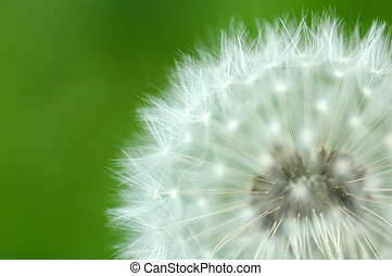 Macro close up of dandelion on green background