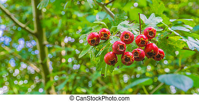 macro close up of red berries on a branch