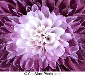 Macro Close up on Purple White Chrysanthemum Flower - Macro...