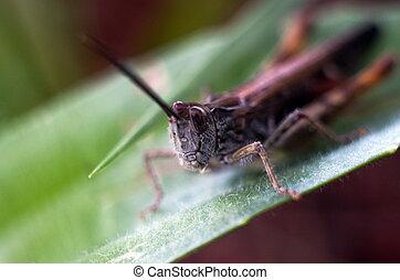 Macro closeup portrait of the grasshopper