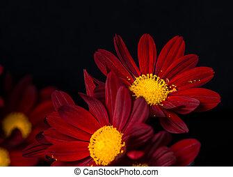 macro, closeup, velluto, nero, fiori, crisantemo, sfondo rosso, composizione