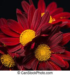 macro composition of red velvet chrysanthemum flowers on black background, closeup