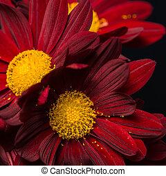 macro composition of red velvet chrysanthemum flowers on...