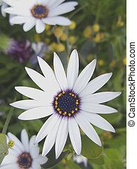 Macro Daisey Vertical - Close up shot of a Daisey