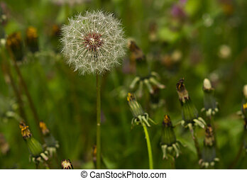 Macro Dandelion on the left.