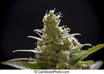 Macro detail of Cannabis flower trichomes (sour diesel strain) isolated over black background, medical marijuana concept