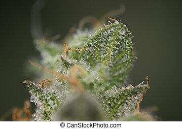 macro, dettaglio, di, canapa, germoglio, (mangolope, marijuana, strain), con, visibile, capelli, e, trichomes