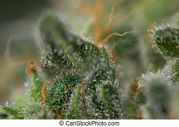 macro, di, canapa, germoglio, (mangolope, marijuana, strain), con, visibile, trichomes, in, tardi, fioritura, palcoscenico