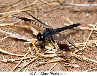 macro, di, nero, libellula, seduta, su, asciutto, erba, gambi