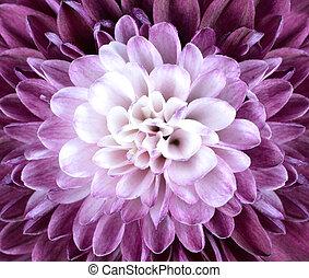macro, dichtbegroeid boven, op, paarse , witte , chrysant,...