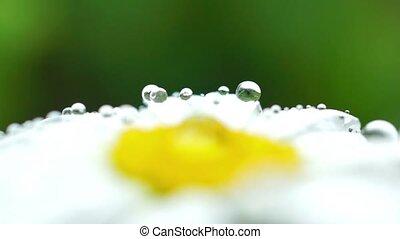Macro drops on daisy
