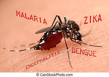 macro, el aspirar de la sangre, mosquito