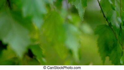 macro, feuilles, lentement, bouleau, en mouvement, vent