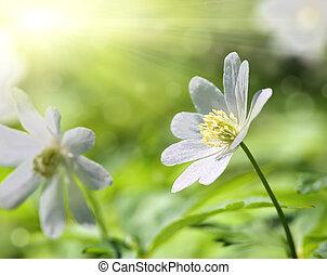 macro, fiore bianco, anemone