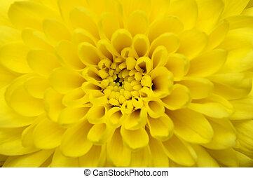 macro, fleur, aster, jaune
