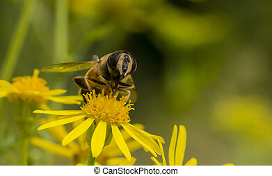 macro, fleur, jaune, abeille
