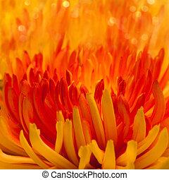macro, fleur, orange-red