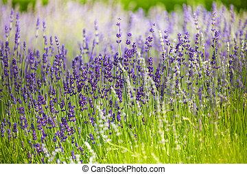 macro, fleurs, champ lavande