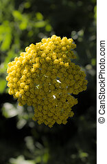 macro, flor, amarela