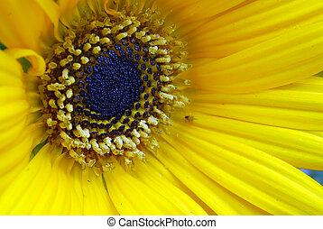 macro, flor, amarela, margarida