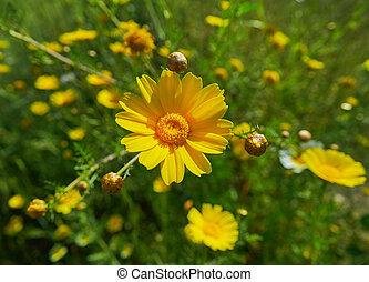 macro, flor, mediterrâneo, amarela, margarida