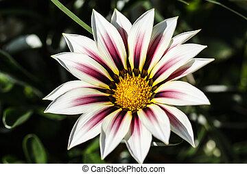 macro, flor, tiro