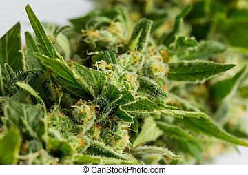 macro, foco, cima, planta, marijuana, médico, cannabis, resinous, flor, fim