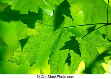 macro, folhas, verde, maple