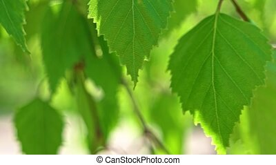Macro footage of birch leaves fluttering on breeze in...